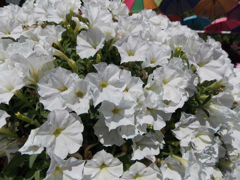 Ako si vypestovat vodopady kvetov na vlastnom balkone 01