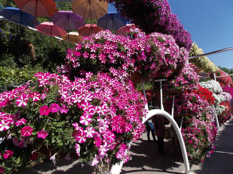 Ako si vypestovat vodopady kvetov na vlastnom balkone 03