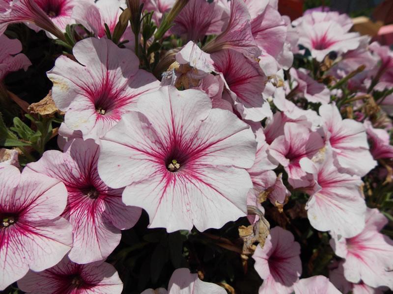 Ako si vypestovat vodopady kvetov na vlastnom balkone 04